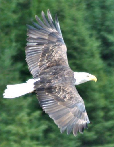 darcy eagle2