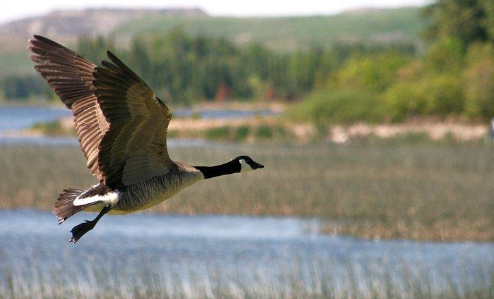 PT Canada Goose