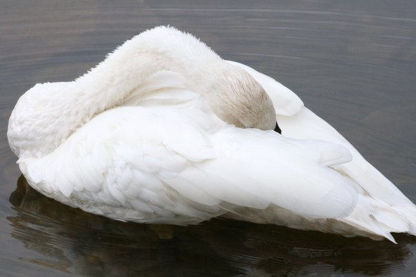 PT White Swan