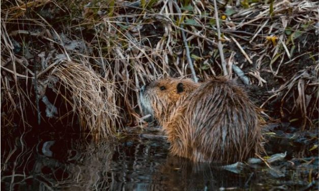 'Boil water to avoid beaver fever' township residents told