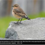 Birding enthusiasts flock to Timmins to view 'rare visitor'